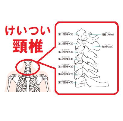 頚椎のイラスト