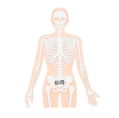 仙骨背骨頭蓋骨イラスト