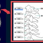 頚椎1番のイラスト