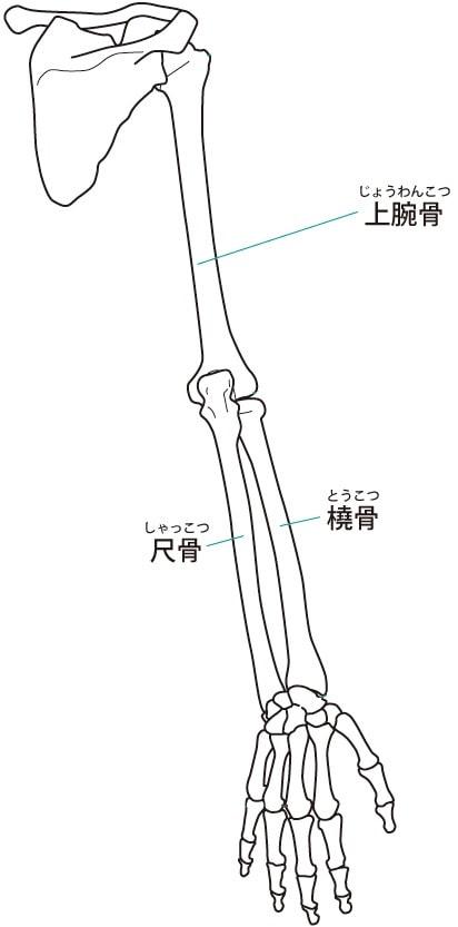 ひじ関節(上腕骨・橈骨・尺骨)